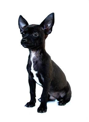 Chihuahua Puppy Print by Hapa