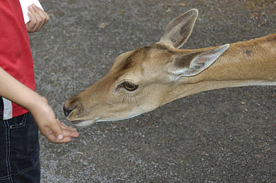 Photograph - Child Feeding Deer by Matthias Hauser
