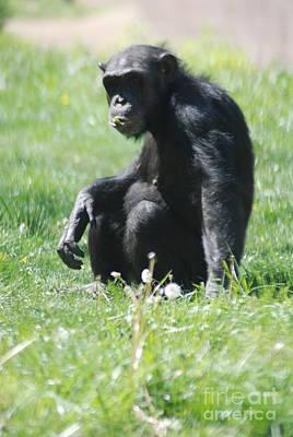 Photograph - Chimp by Mark McReynolds