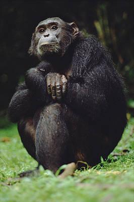Photograph - Chimpanzee Pan Troglodytes Portrait by Gerry Ellis