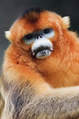China, Shaanxi Province, Golden Monkey (rhinopithecus Roxellana ) Art Print by Jeremy Woodhouse