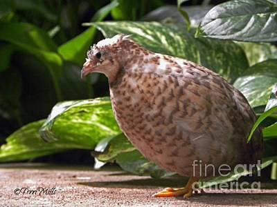 Photograph - Chinese Button Quail by Terri Mills