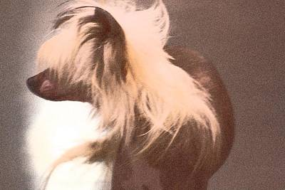 Photograph - Chinese Crested by Donna G Smith