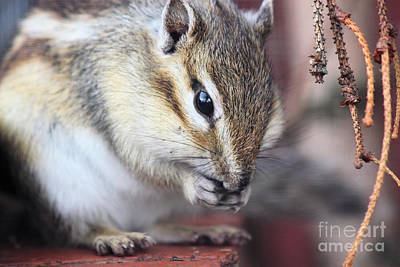 Chipmunk Eating A Nut Art Print by Simon Bratt Photography LRPS