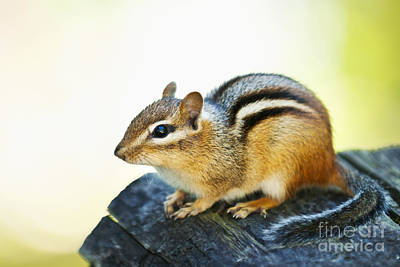 Chipmunk Art Print by Elena Elisseeva