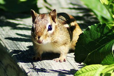 Photograph - Chipmunk by Joe Faherty