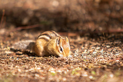 Photograph - Chipmunk by Josef Pittner