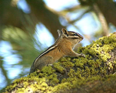 Photograph - Chipmunk On Mossy Tree by Ben Upham III