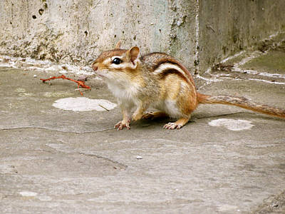 Chipmunk Scurry Art Print