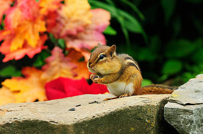 Y120831 Photograph - Chipmunk Sitting On Rock by H .H. Fox Photography