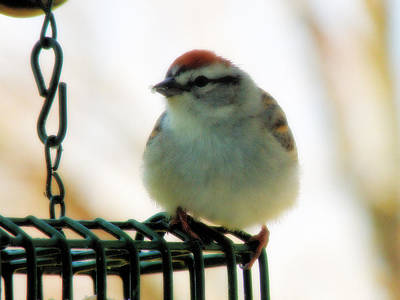 Photograph - Chipping Sparrow by Scott Hovind