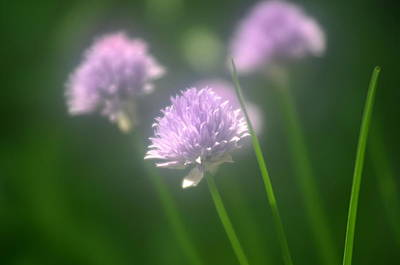 Photograph - Chives 1 by Douglas Pike