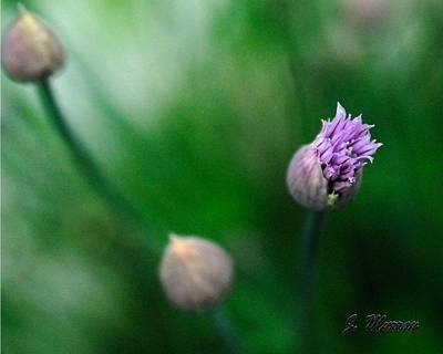 Photograph - Chives by Jessica J Murray