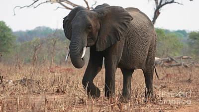 Photograph - Chobe Elephant by Mareko Marciniak