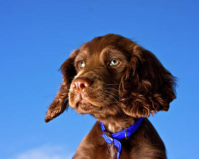Cocker Spaniel Wall Art - Photograph - Chocolate Brown Cocker Spaniel Puppy by Andrew Davies