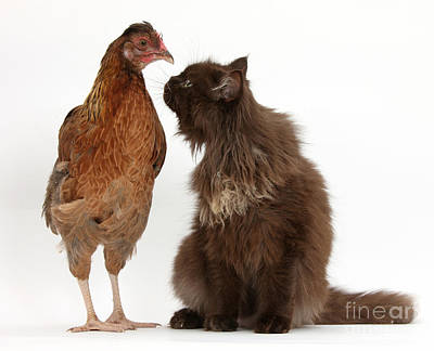 House Pet Photograph - Chocolate Cat And Chicken by Mark Taylor