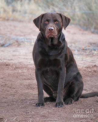 Photograph - Chocolate Labrador - The Duck Dog V by Donna Greene