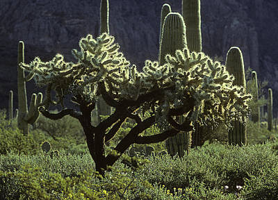 Photograph - Cholla Cactus by John Brink