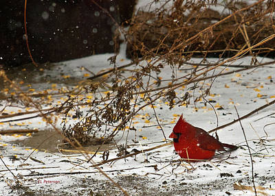 Photograph - Christmas Cardinalthe  by Edward Peterson