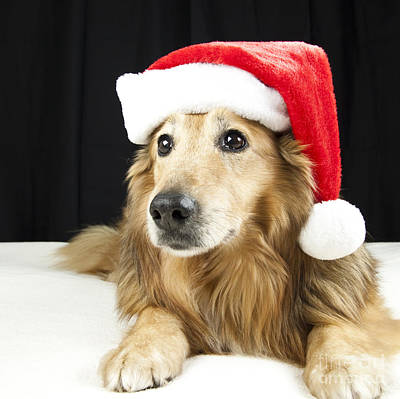 Photograph - Christmas Collie by Jeannette Hunt
