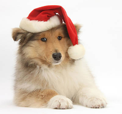Christmas Collie Pup Print by Mark Taylor