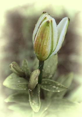 Digital Art - Christmas Lily Bud 1 by Fran Woods