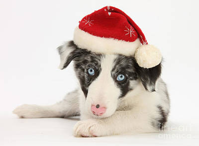 House Pet Photograph - Christmas Puppy by Mark Taylor