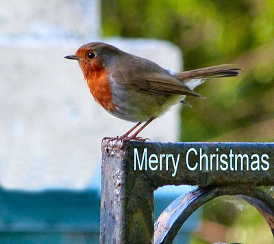 Photograph - Christmas Robin by Debra Collins