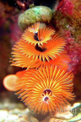 Christmas Tree Worm Art Print by Joerg Lingnau