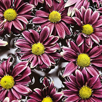 Tranquil Scene Photograph - Chrysanthemums by Skip Nall