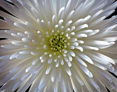 Photograph - Chrysanthemum by Endre Balogh