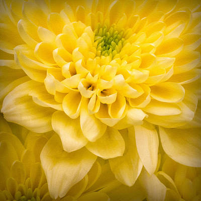 Bright Colours Photograph - Chrysanthemum Flower by Ian Barber