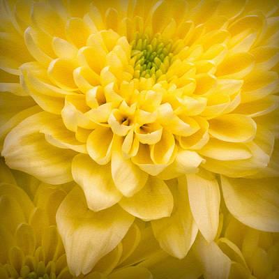 Chrysanthemum Flower Art Print by Ian Barber