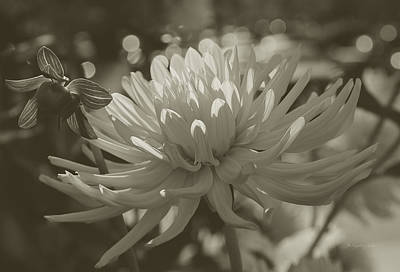 Photograph - Chrysanthemum In Bloom by Xueling Zou