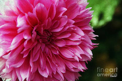 Photograph - Chrysanthemum by Eena Bo