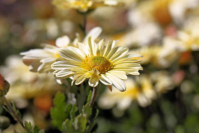 Photograph - Chrysanthemum by Katherine White