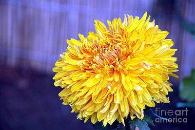 Art Print featuring the photograph Chrysanthemum by Pravine Chester