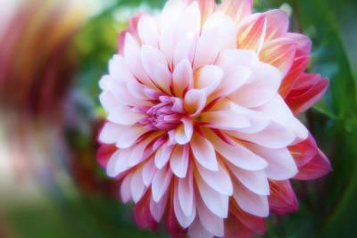 Chrysanthemum Revelation Art Print