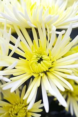 Chrysanthemum 'sheena' Art Print by Jon Stokes