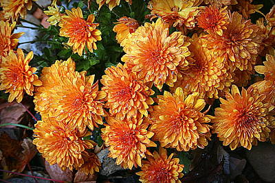 Photograph - Chrysanthemums by Kay Novy