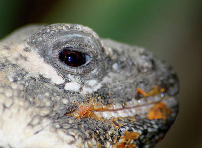 Photograph - Chuckwalla Needs A Napkin by Scott Hovind