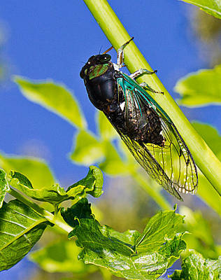 Cicada 002 Art Print by Barry Jones