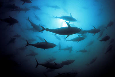 Undersea Photograph - Circling Bluefin Tuna by Dave Fleetham - Printscapes