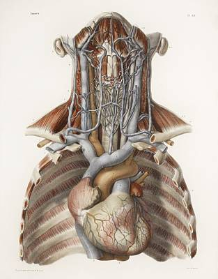 Nicolas Cage Photograph - Circulatory System, Historical Artwork by