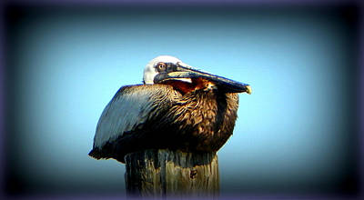 Photograph - Ck Brown Pelican by Sheri McLeroy