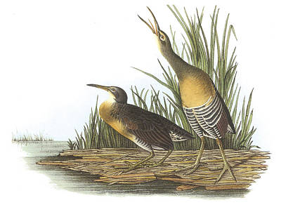 North Sea Painting - Clapper Rail by John James Audubon
