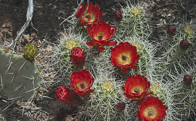 Photograph - Claret Cactus Flowers by Gregory Scott