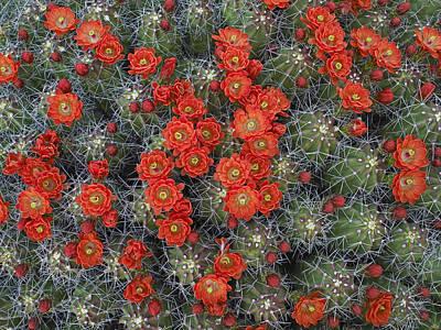 Photograph - Claret Cup Cactus Echinocereus by Tim Fitzharris