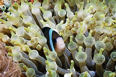 Amphiprion Clarkii Photograph - Clarke's Anemonefish by Georgette Douwma