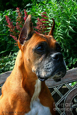 Photograph - Classic Boxer by Susan Herber